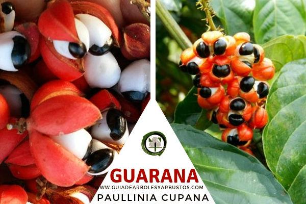 Guaraná Fruta tropical del arbusto Paullinia cupana, de la familia Sapindaceae