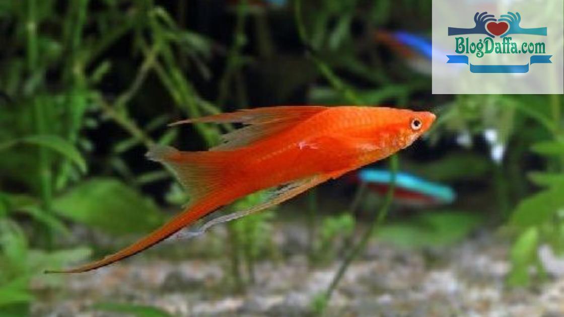 Ikan Pedang atau Swordtail