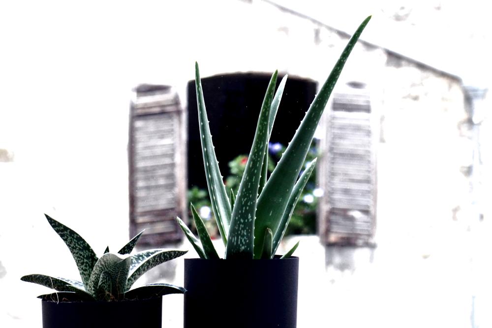 plante masculine grasse aloe vera mec torse nu boy french botanic blog vertus detox cocktail aloe vera ma plante mon bonheur