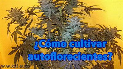 como cultivar variedades de marihuana autoflorecientes