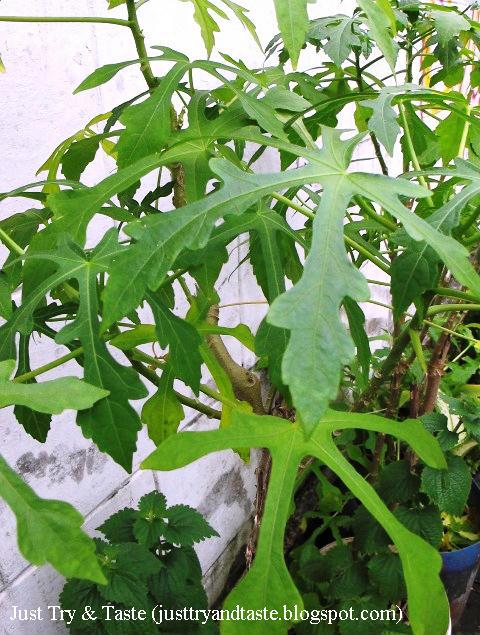 Mengenal Daun Gedi, Sayuran Khas Manado JTT