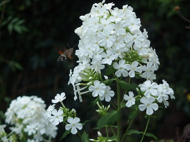 A hummingbird hawk moth sips nectar from the Phlox paniculata