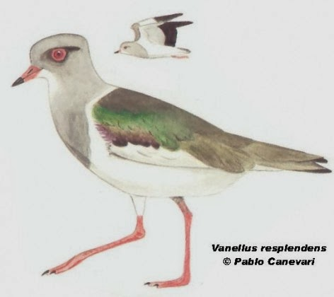 Tero serrano: Vanellus resplendens
