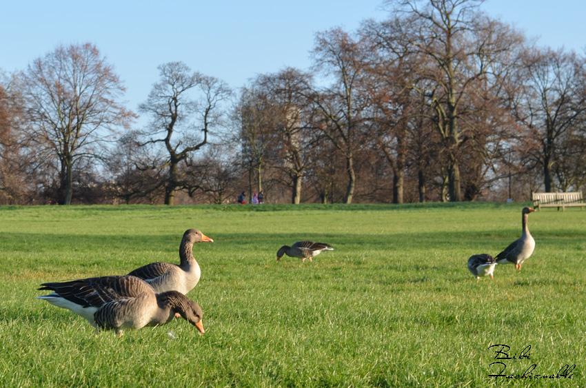 Hyde Park Grey Goose