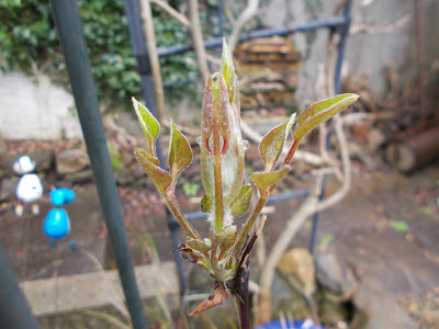 Young clematis shoots Green Fingered Blog
