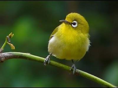 Cara Jitu Membedakan Burung Pleci Jantan atau Betina