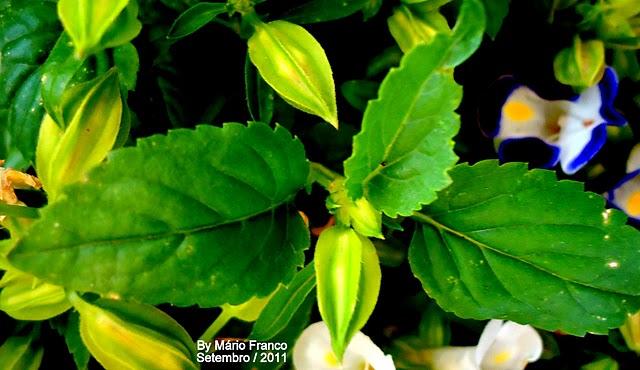 Leaf TORÊNIA - ( Torenia fournieri )