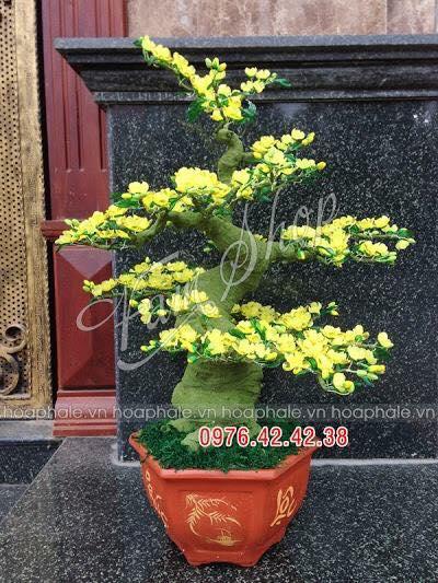 Goc bonsai cay hoa mai tai Hai Ba Trung