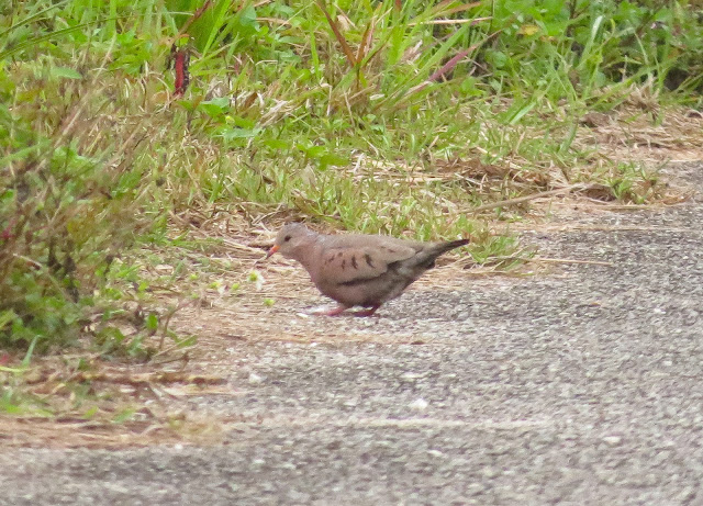 Common Ground Dove - Merritt Island, Florida