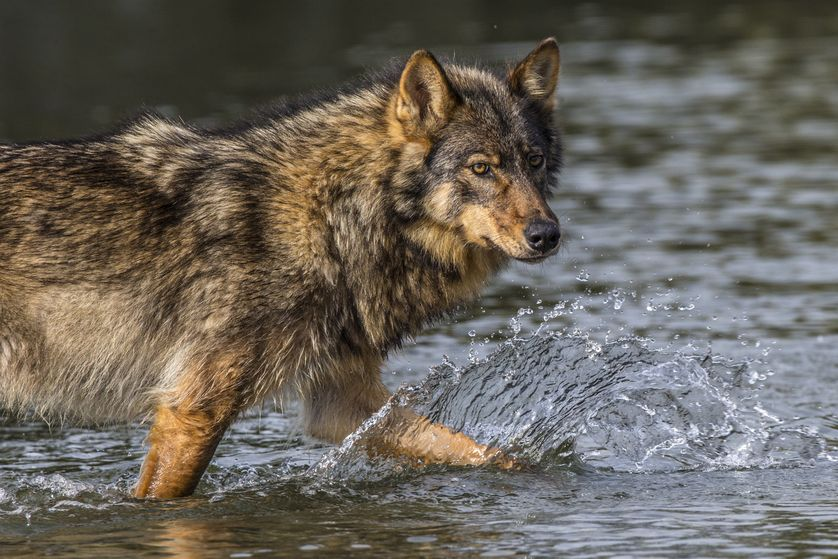 White Wolf : Meet the Rare Sea Wolves With Two Paws in the ...