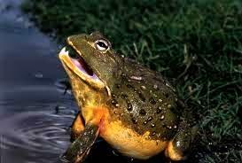 bullfrog afrika selatan
