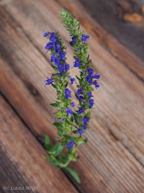 jadalne kwiaty hyzopu