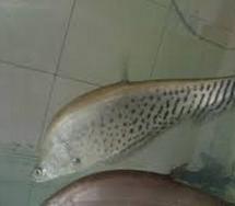 Jenis ikan belida Afrika