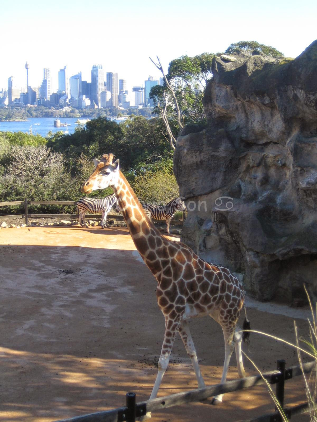 Girafe Taronga Zoo, Sydney, Australie