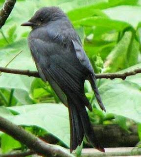 suara burung srigunting, burung srigunting, suara srigunting, srigunting, srigunting hitam