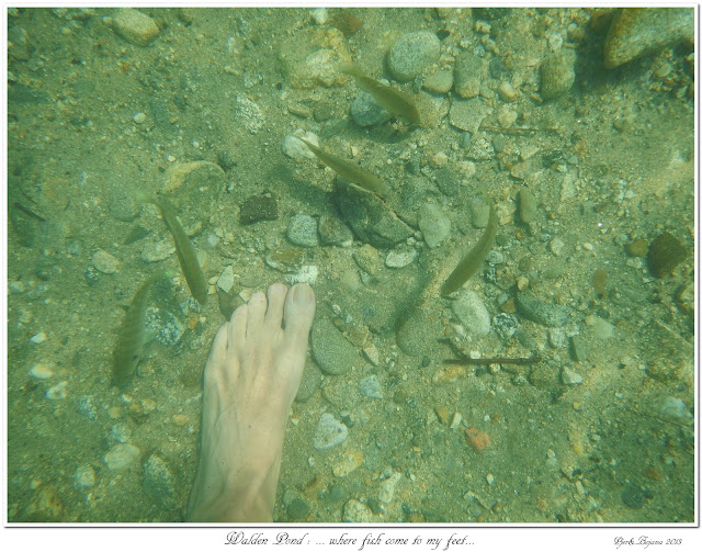Walden Pond: ... where fish come to my feet...