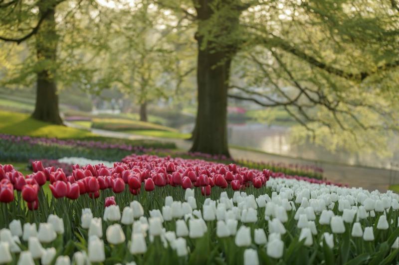 Tulipanes en el parque de Keukenhof