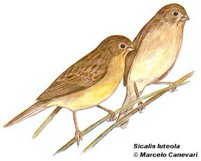 Misto Sicalis luteola