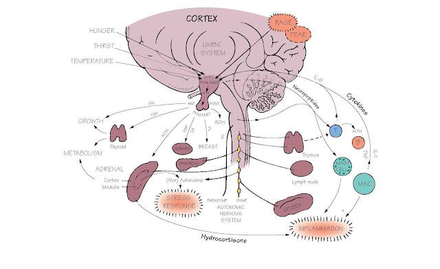 Immunity, Hormones And The Brain