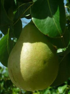 Una pera en el árbol