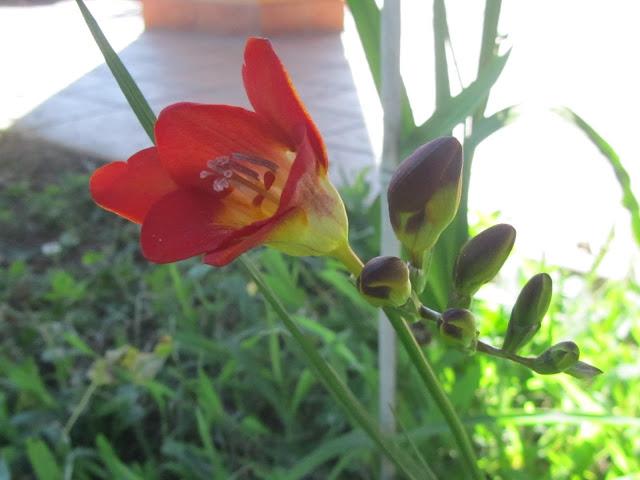 Fiore di Fresia