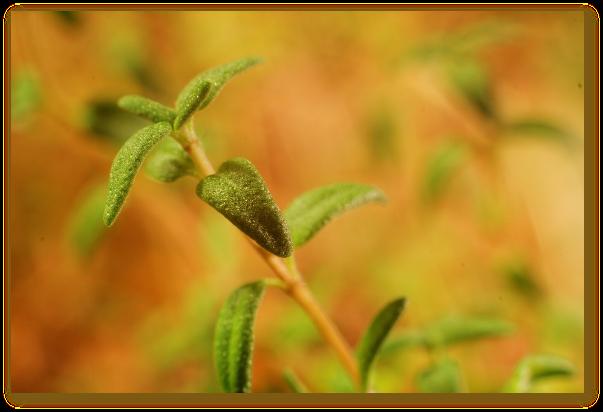Cimbrul: indicatii terapeutice, remedii naturiste, precautii si contraindicatii