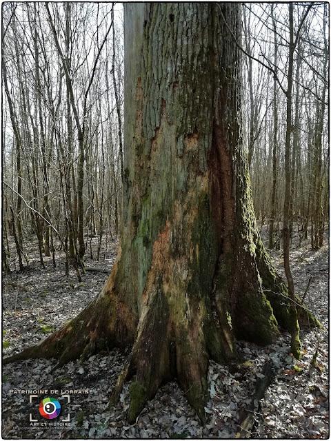 THELOD (54) - Arbres remarquables de la Forêt du Bois Bas
