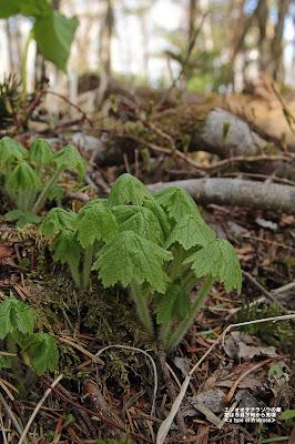 エゾオオサクラソウの芽だし ≪a type of Primrose≫