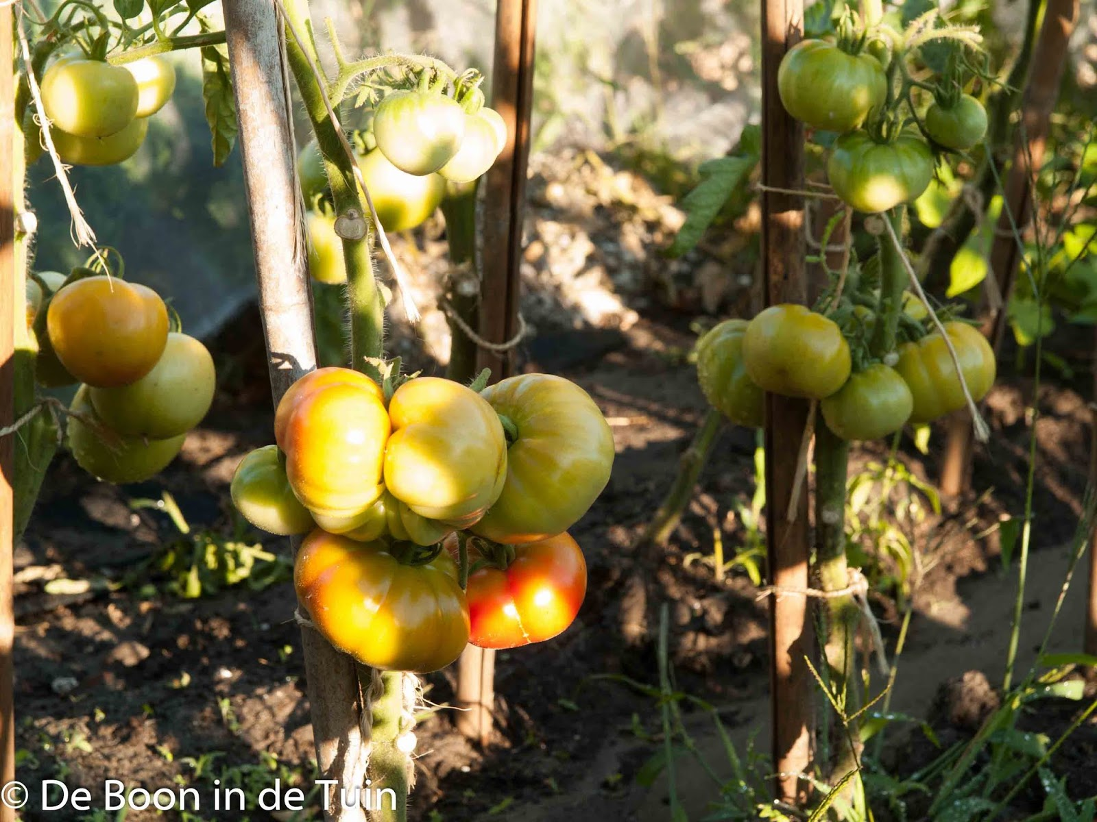 tomaten zomer juli moestuin volkstuin gietgoot gieten stokken tonkin