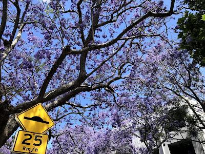 Jacaranda blooms in Woolloomooloo with street sign
