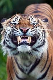 2 Tigers maul 2 women to death, injure 1 in Chinese wildlife park