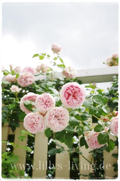 mein lillys living meine sch nste rose. Black Bedroom Furniture Sets. Home Design Ideas