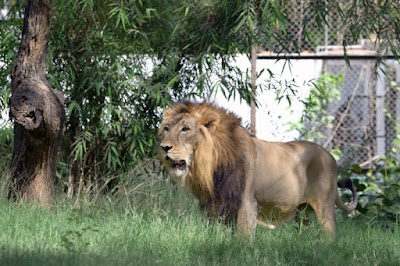 """India """"Arrests"""" 18 Lions After One Of Them Killed Three People"""