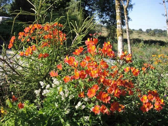Alstroemeria in Huntin Brook Gardens