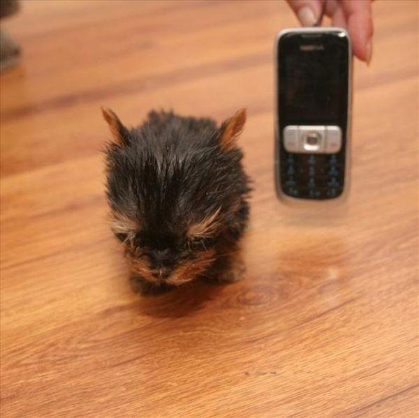 Polish Terrier Meysi Is The World's Smallest Dog