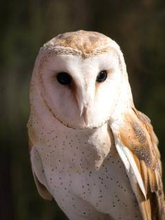 Owl Tyto alba As Pest Control Rat Effective and Environmentally Friendly