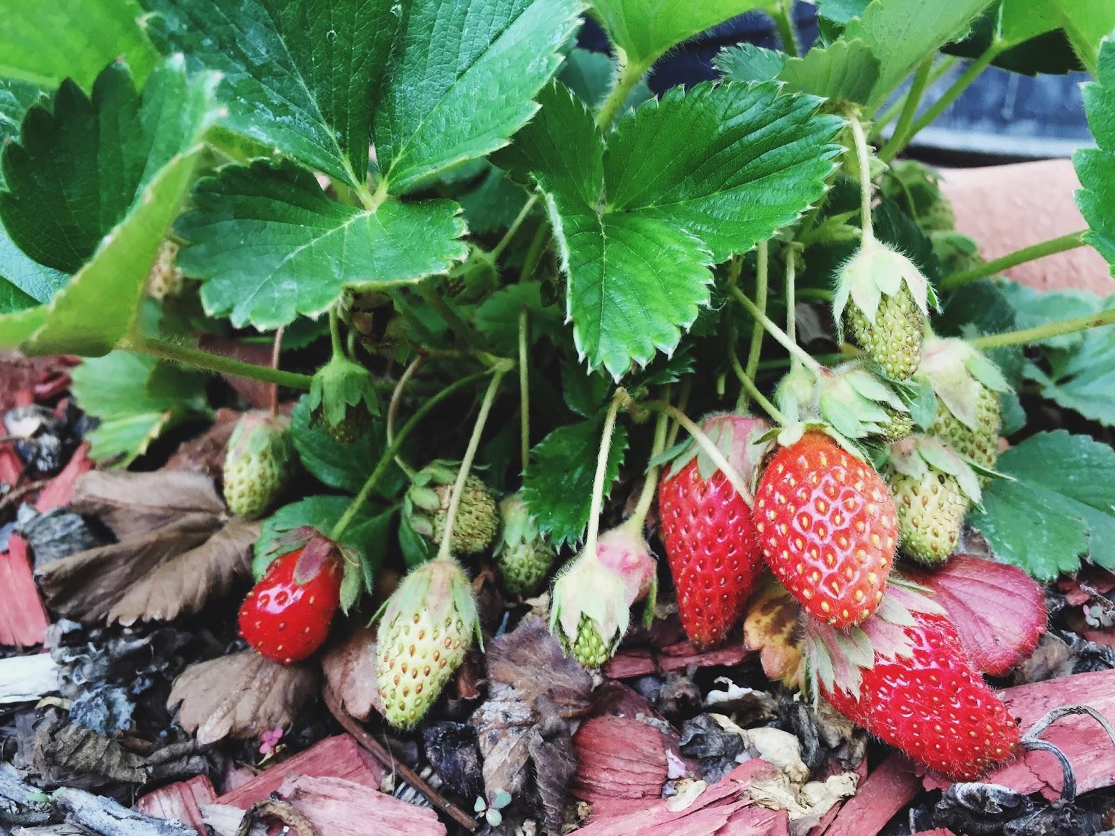 Strawberries // www.thejoyblog.net