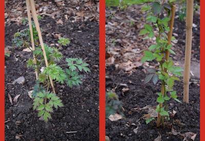 Flikbjörnbär, Rubus lacinatus, Rubus fruticosus, Rubus Björnbär-Gruppen
