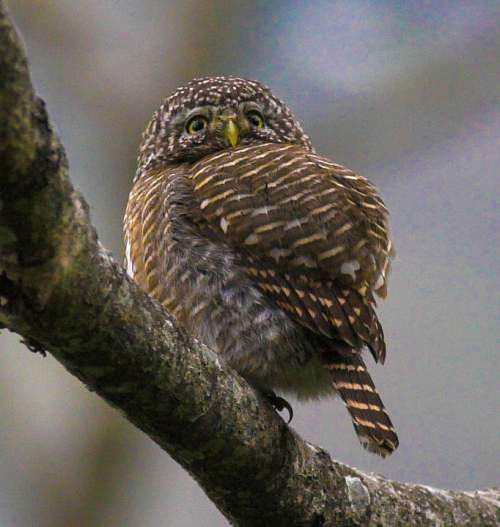 Birds of India - Photo of Collared owlet - Glaucidium brodiei