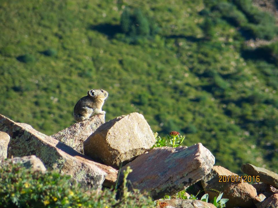 pikas live in mountain wilderness areas photo by marie westover