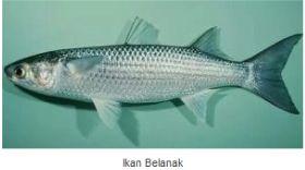 Ikan Laut Konsumsi - Ikan Belanak