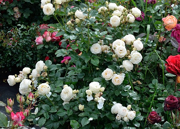 Artemis rose сорт розы фото