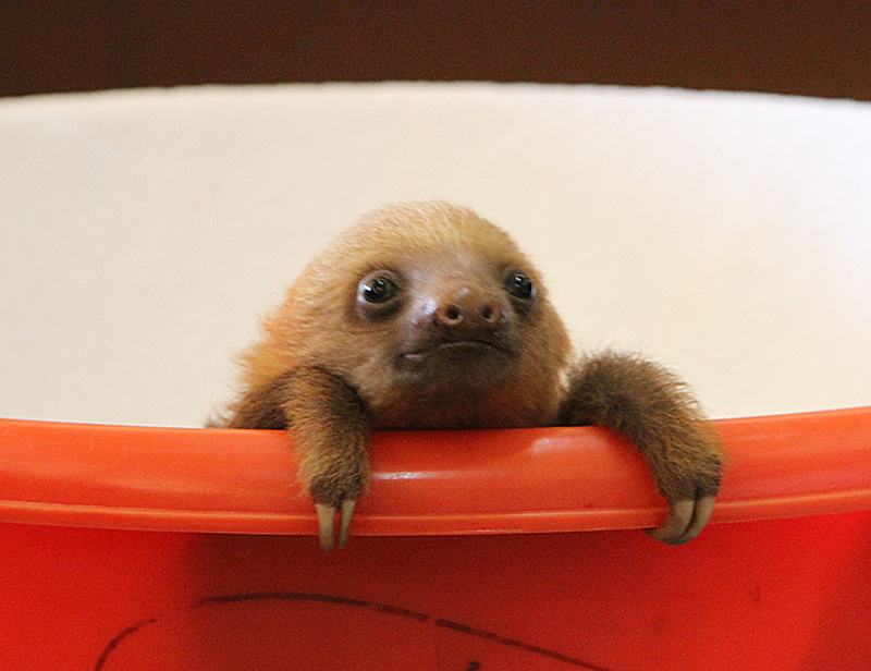 Not Just Sloths Baby Sloths I Hope Kristen Bell Has Some