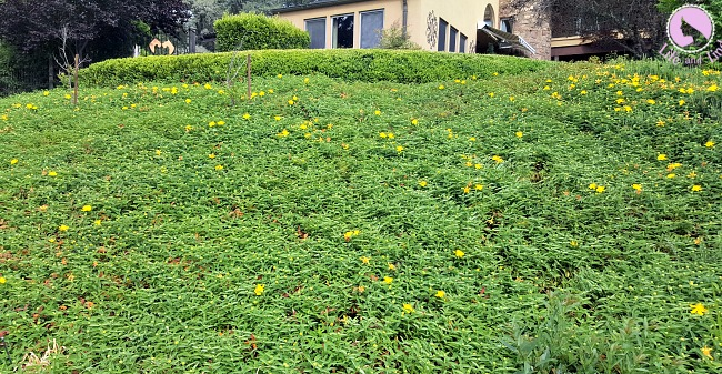 Hillside of lush St John's Wort.I planted each and every plant after my chemo treatments.