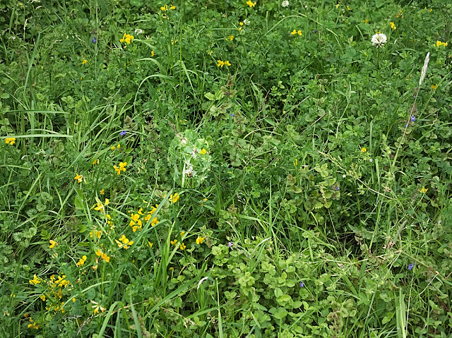 Overview of area where bee orchid grows