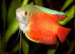 Ikan Hias Gurami Madu (Honey gourami) semburat warna jingga