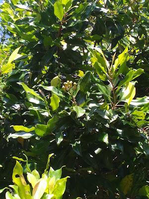 Syarat tumbuh pohon cengkeh