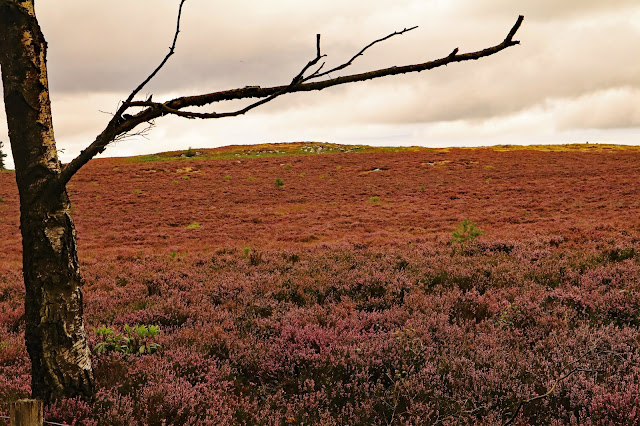 Buy Photo Art of Moorland Heather