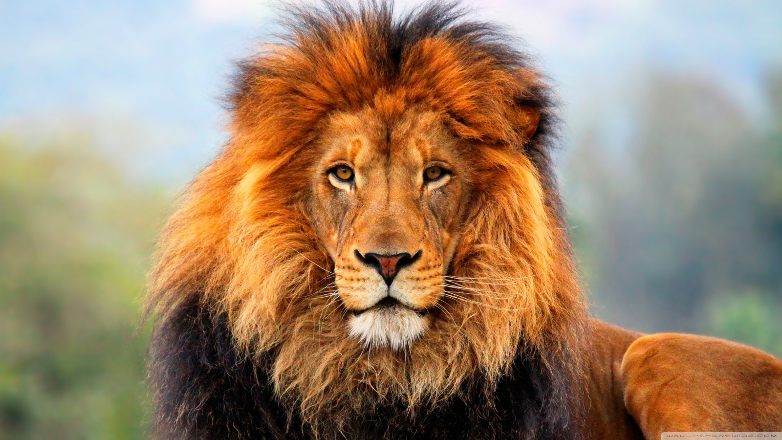 Lion Pictures HD Wallpapers Lion - HD Animal Wallpapers