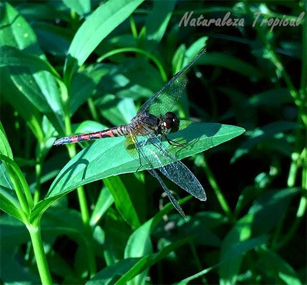 Libélula sobre una hoja de una planta, orden Odonata